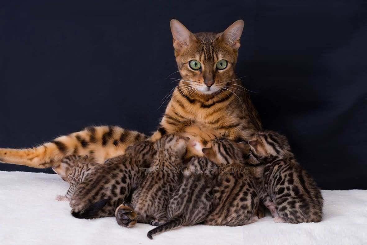 Самые ласковые породы кошек: рейтинг и описание