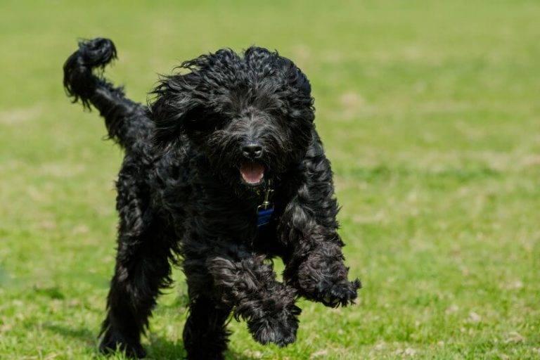 Отличительные черты, уход, дрессировка и воспитание португальских водяных собак