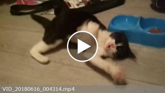 Панлейкопения у кошек или кошачья чумка