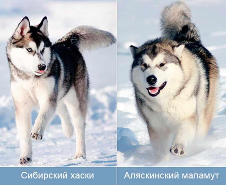 Cибирский хаски и аляскинский маламут – отличия