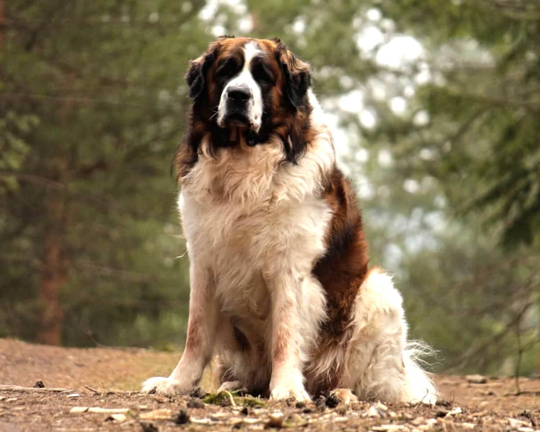 Московская сторожевая: описание породы, характер собаки и щенка, фото, цена