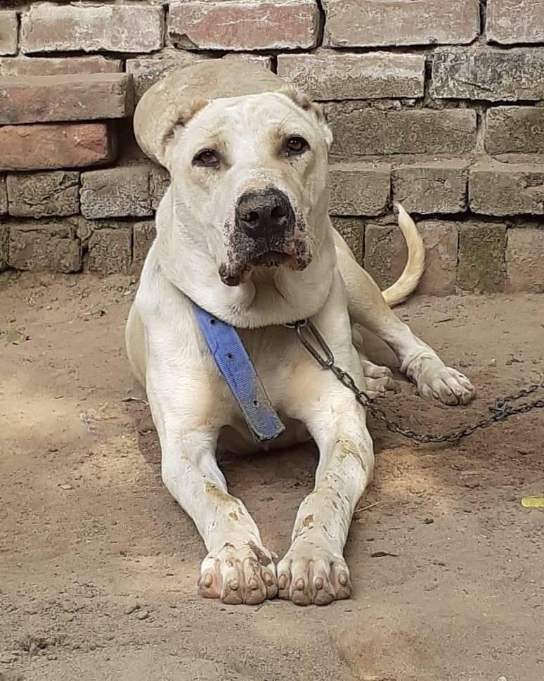 Пакистанский мастиф (булли кутта): как выглядит собака на фото, история происхождения и описание характера питомца
