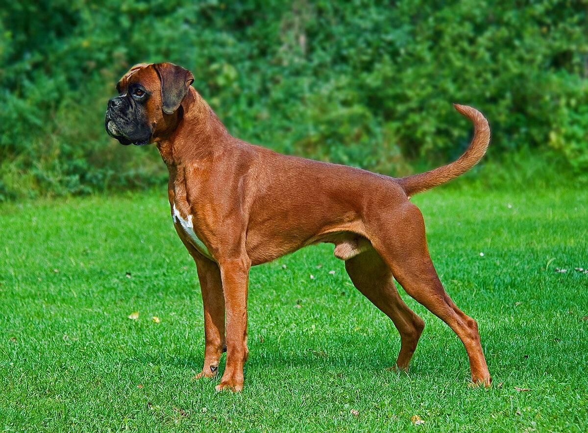 Немецкий боксер: описание породы, внешний вид и особенности экстерьера, особенности ухода за собакой