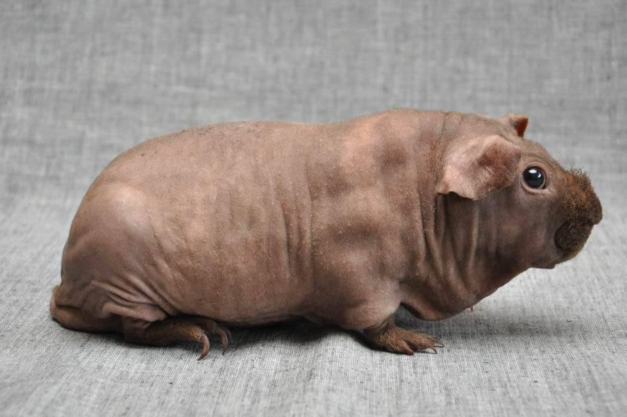 Морская свинка болдуин: описание, уход и содержание