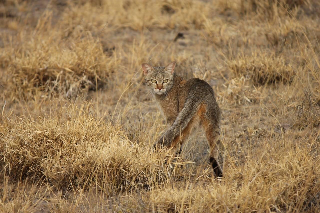 Редкие таинственные дикие кошки. вы даже не знали о существовании таких! » infotolium