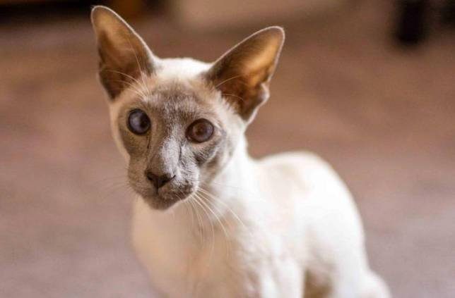 Оцикет: история, внешний вид и 145 фото кошки с необычным окрасом