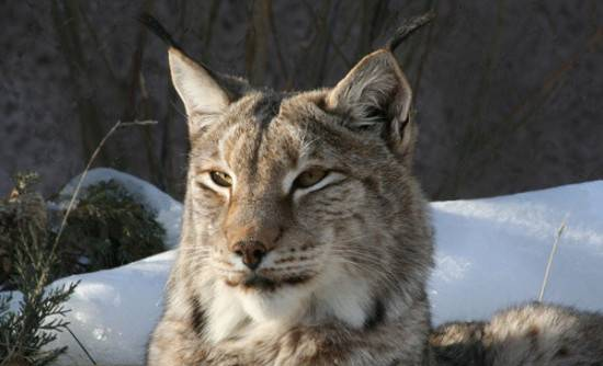 Рысь животное: интересные факты о животном, описание, что ест, ареал обитания, фото, способ жизни в дикой природе