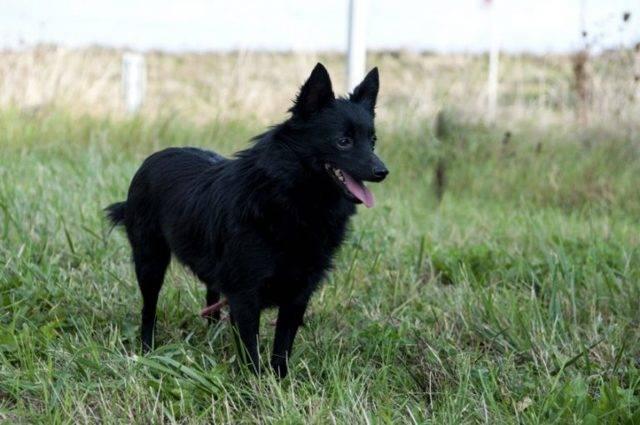 Шипперке порода собак. особенности, цена и уход за шипперке | животный мир