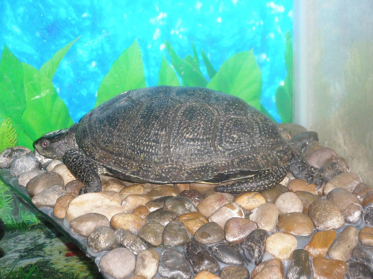 Болотная черепаха: советы по выбору, внешний вид, уход и содержание черепахи (105 фото)