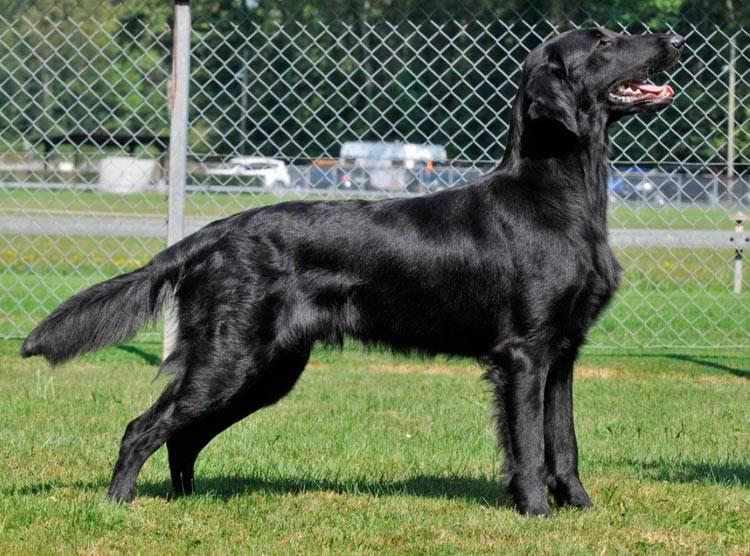 Характеристика собак породы прямошерстный ретривер с отзывами и фото