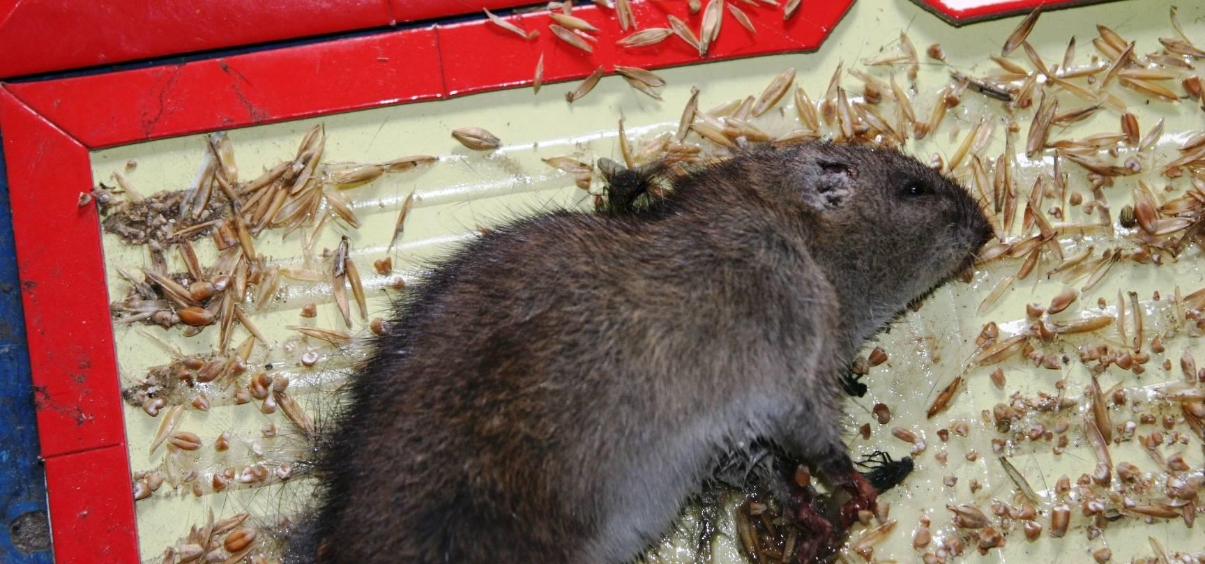 Лучшие приманки для крыс и мышей: что эти грызуны любят больше всего?