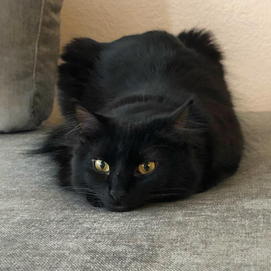 Шантильи-тиффани: описание породы кошек, фото и видео материалы, отзывы о породе