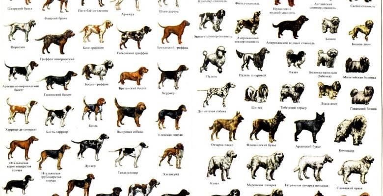 Классификация пород собак по группам — какие бывают