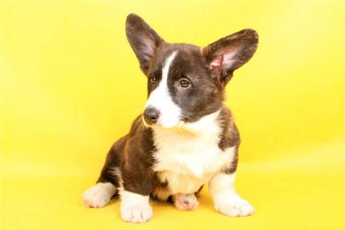Вельш-корги-кардиган (26 фото): описание и характер породы. какой стандарт собаки данной породы? распространенные окрасы щенков