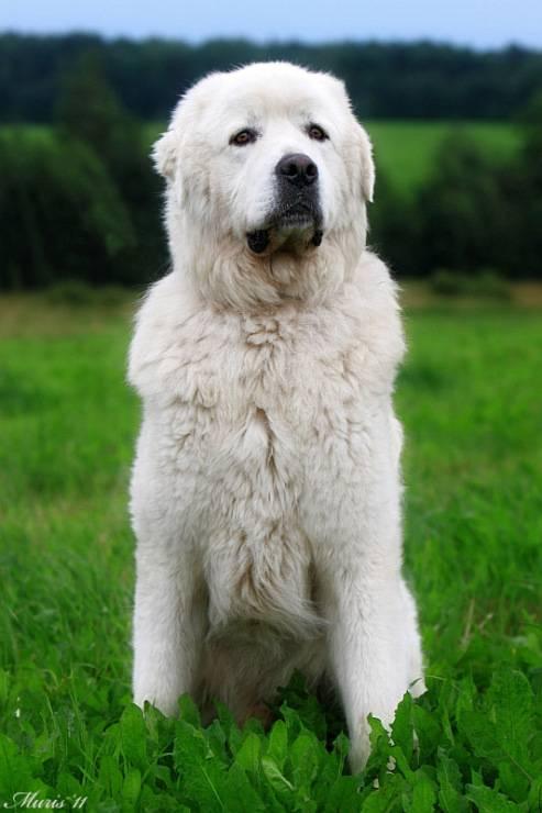 Характеристика породы польских подгалянских овчарок: особенности собак