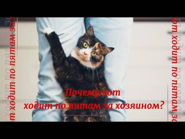 Почему кот ходит по пятам за хозяином? | скоттиш фолд вислоухое мяу