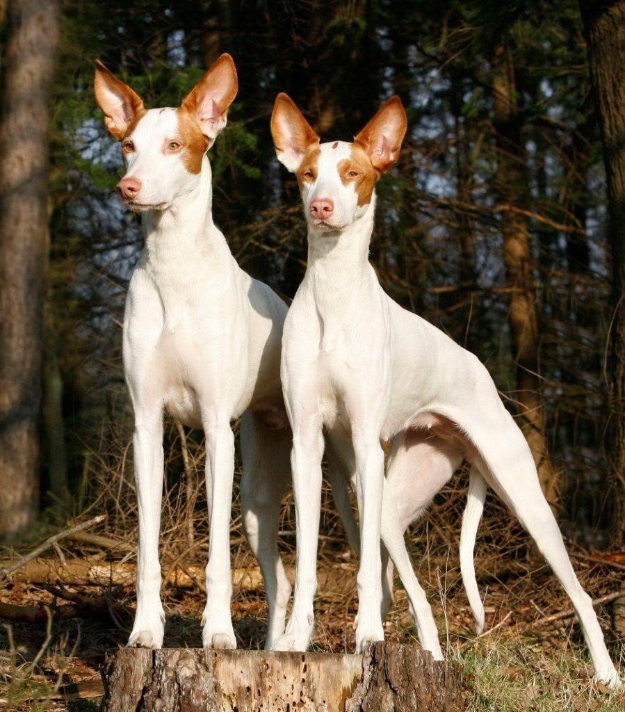 Топ 10 самых редких пород собак в мире - названия, фото и описание