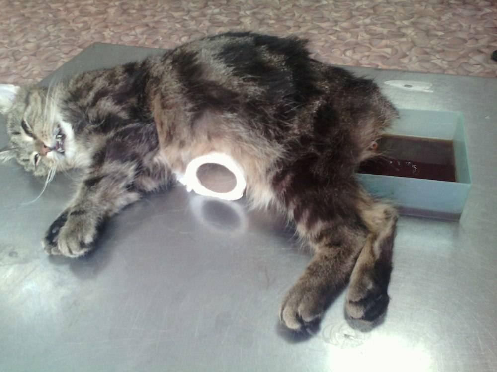 Симптомы: почему у кошки выпадает шерсть – возможные причины и методы лечения.