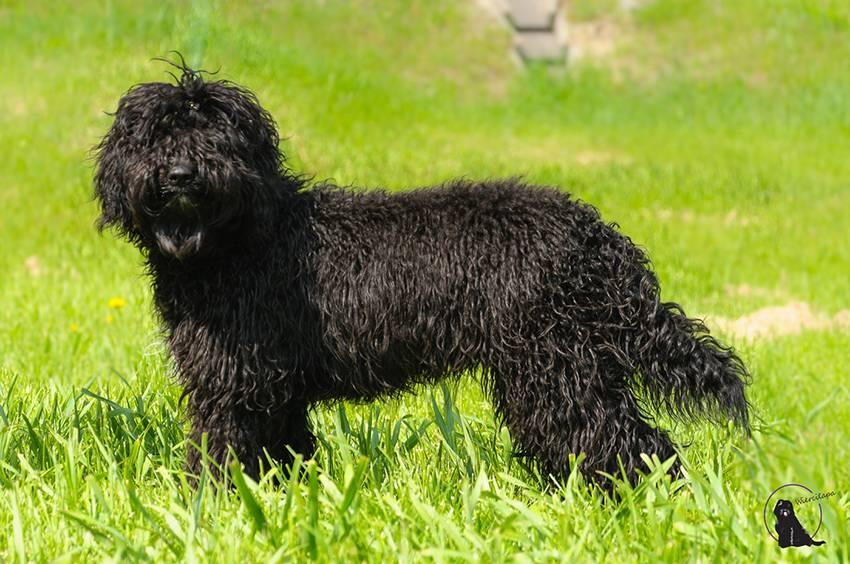Барбет или французская водяная собака. описание породы ⋆ собакапедия