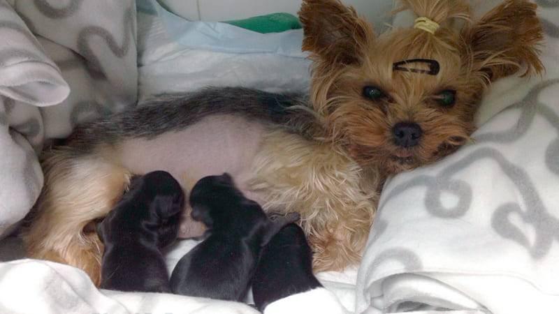 Беременность у собак: признаки, сколько длится, периоды по дням и неделям