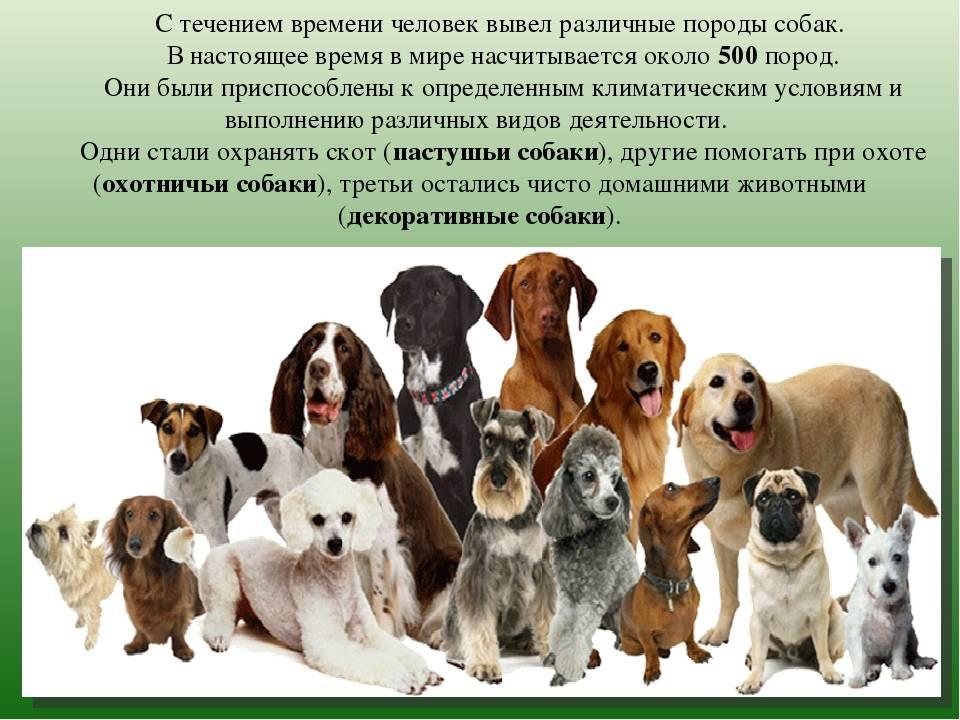 Бостон терьер собака. описание, особенности, уход и цена бостон терьера | sobakagav.ru