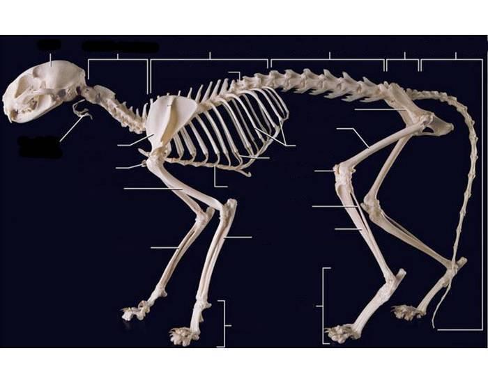 Скелет кошки: фото и описание.