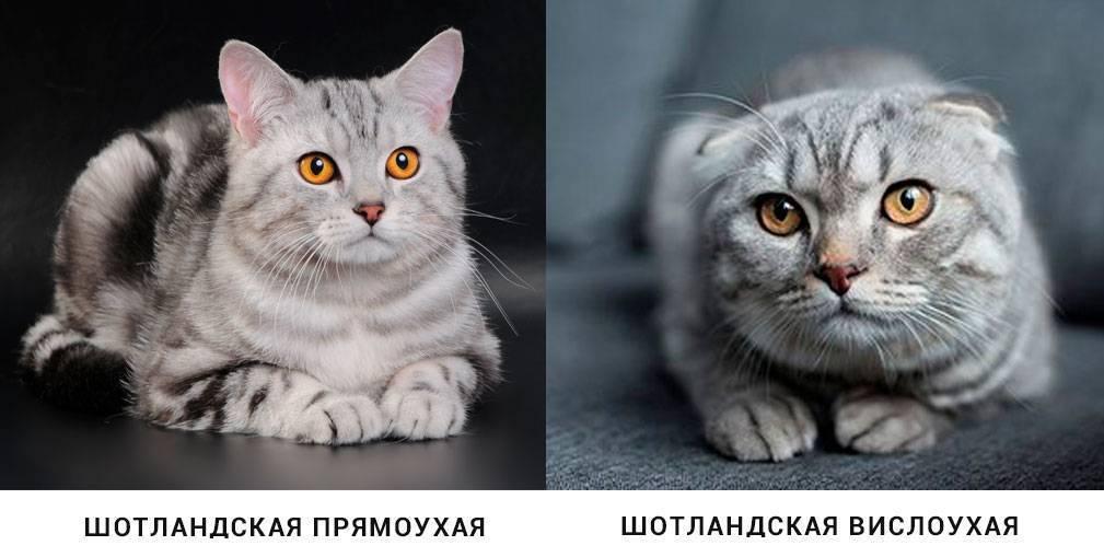 Шотландские прямоухие кошки (скоттиш страйт): описание породы, характер, здоровье