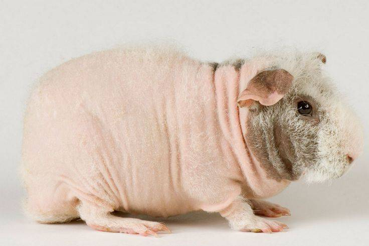 Морская свинка скинни и болдуин: лысые морские свинки