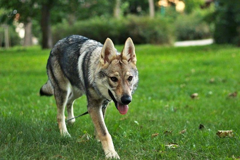 Чехословацкий влчак: фото, описание, характер, содержание, отзывы