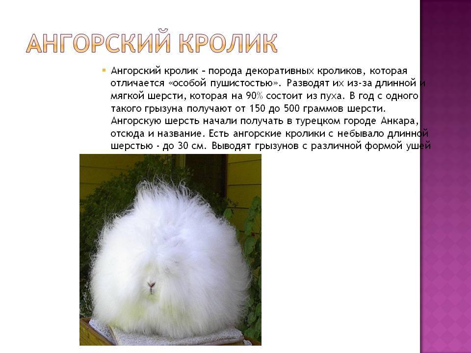 Ангорский домашний кролик