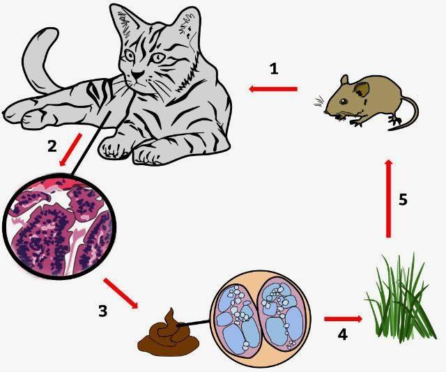 Передаются ли глисты от кошек к человеку? виды паразитов кошки.