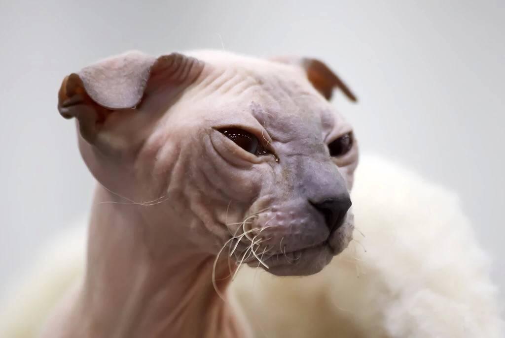 Кошка украинский левкой (24 фото): особенности породы, характер лысых котов. правила содержания и кормления кошек