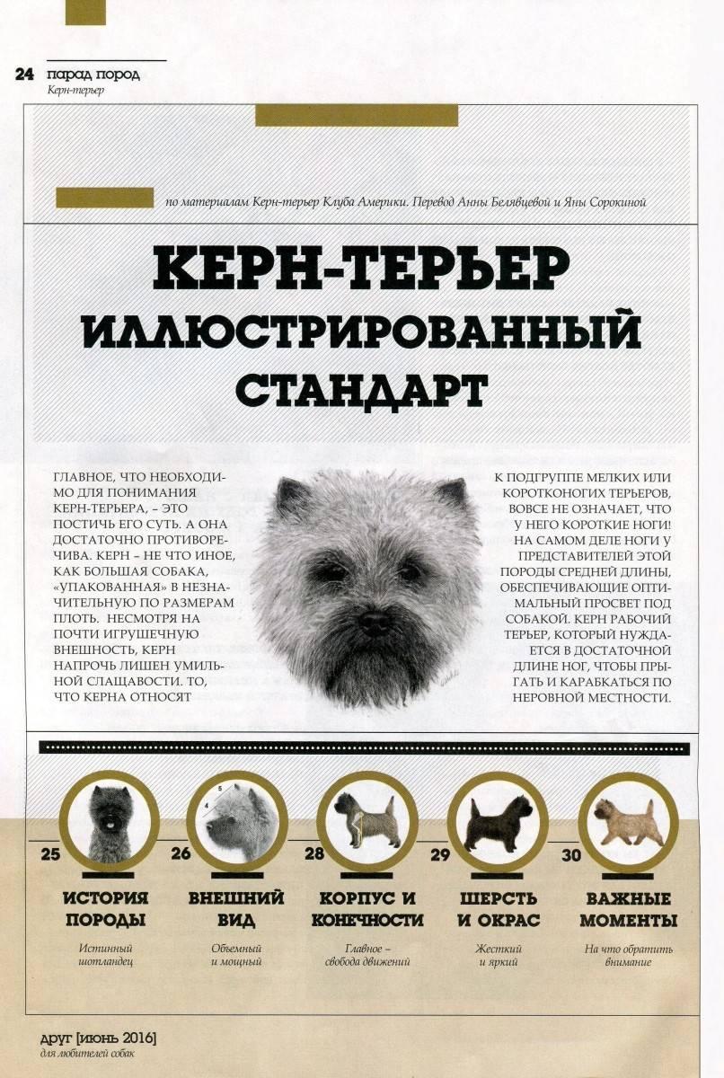 Керн-терьер: описание собаки, характеристика, окрасы, стрижка, щенки, плюсы и минусы породы