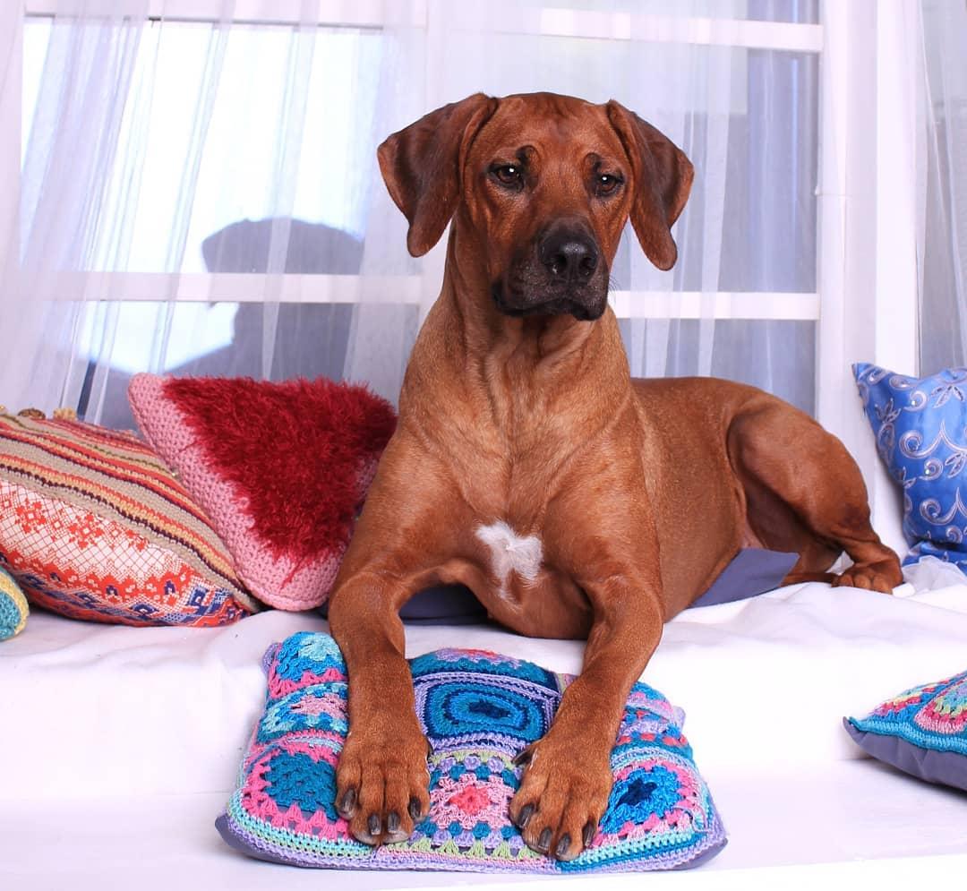 Родезийский риджбек: описание породы, уход, выбор щенка
