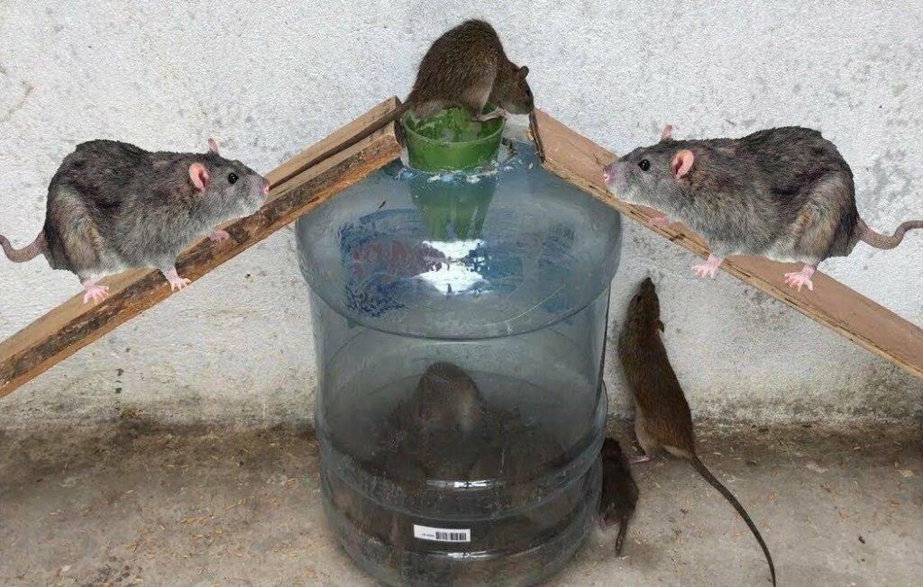 Породы собак, которые ловят крыс и мышей не хуже кошек