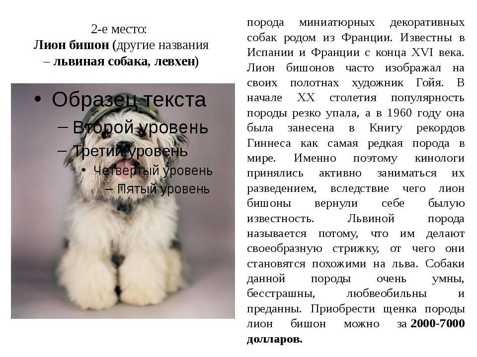 Русская цветная болонка: полное описание породы с фото