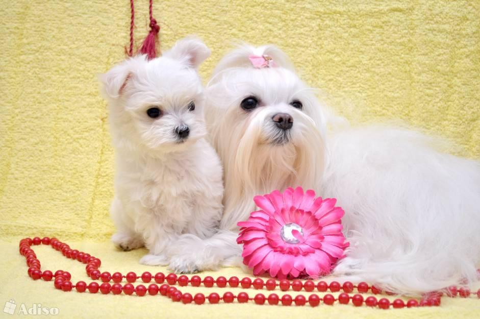 Мальтезе порода собак. описание, особенности, уход и цена мальтезе | животный мир