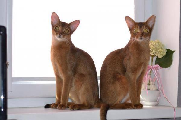 Характер абиссинской породы кошки: лучшие и негативные повадки