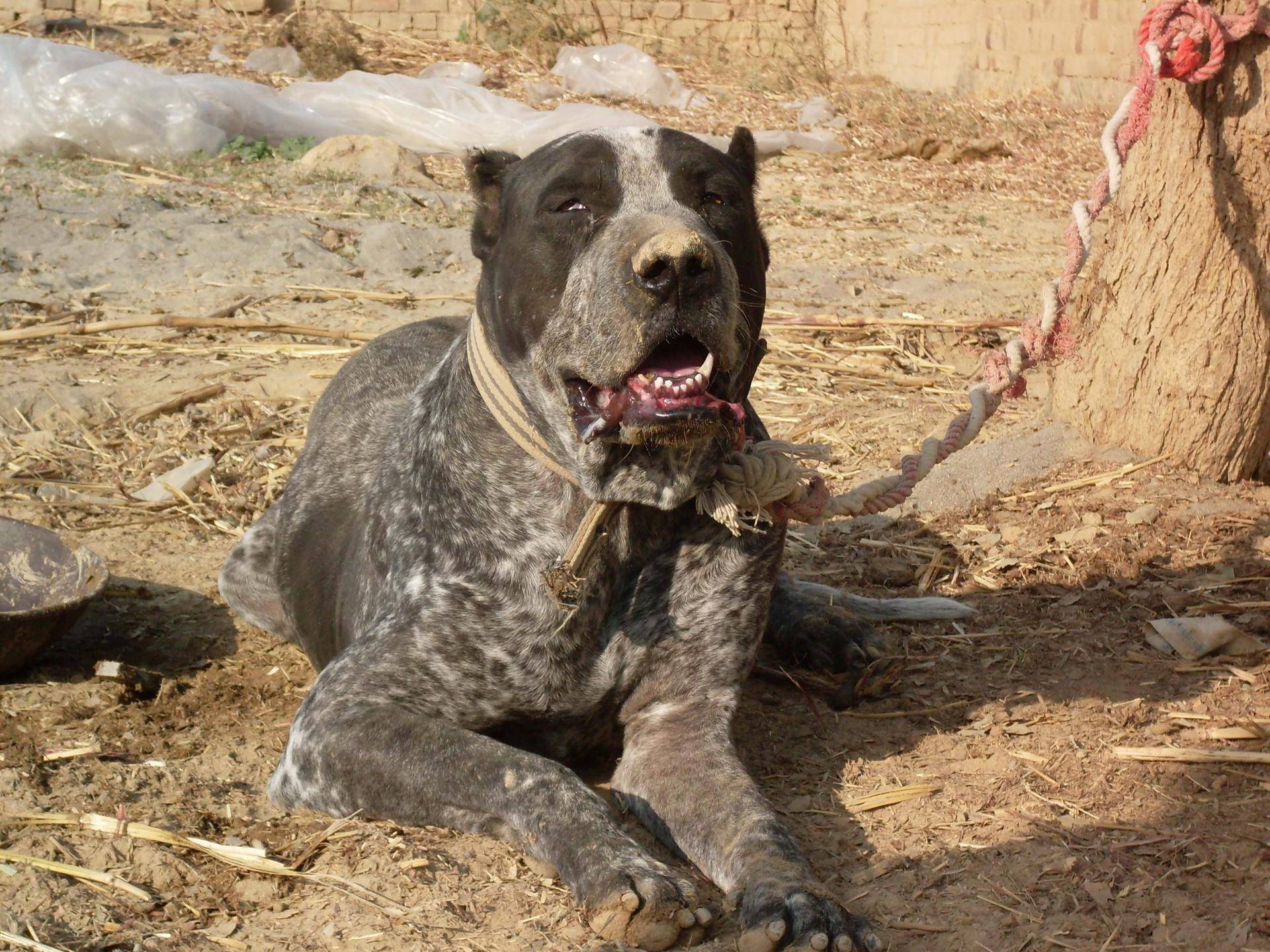 Булли кутта (пакистанский мастиф): описание породы собак с фото