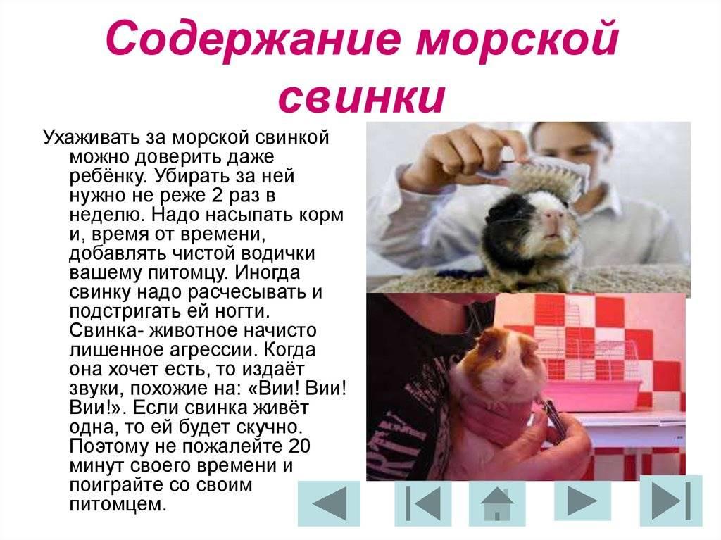 Морская свинка — уход и содержание в домашних условиях