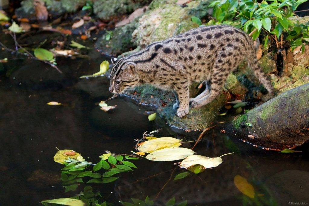Кошка-рыболов, крапчатая кошка, или рыбья. виверровый кот-рыболов (крапчатая кошка, рыбья кошка)