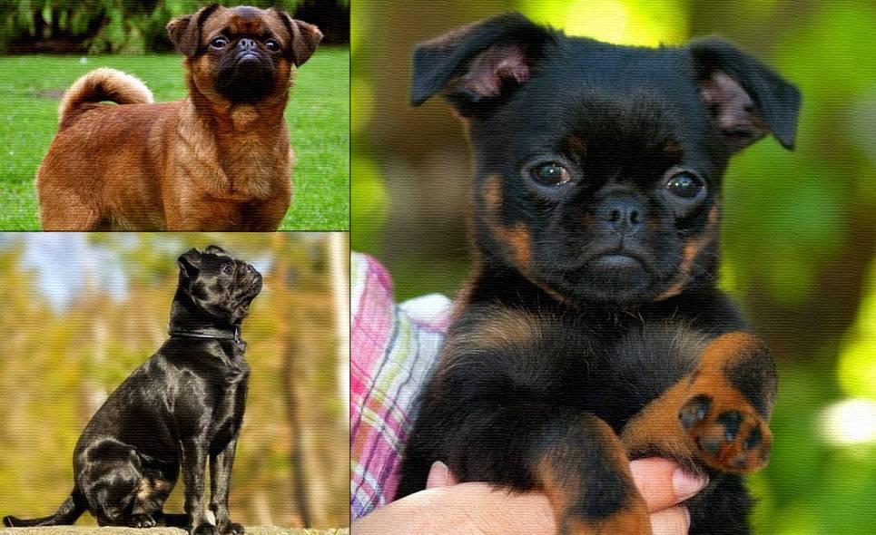 Характеристика собак породы пти-брабансон с отзывами и фото
