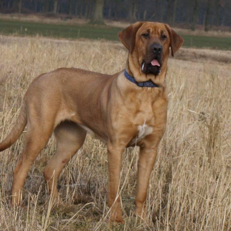 Далматин собака. описание, особенности, уход и цена далматина