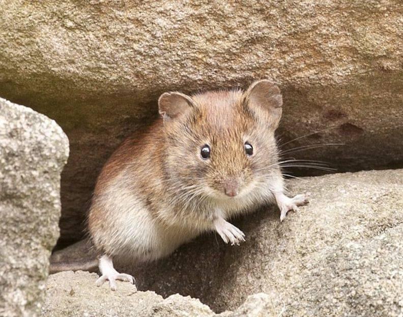 Размножение мышей в домашних условиях | zoodom