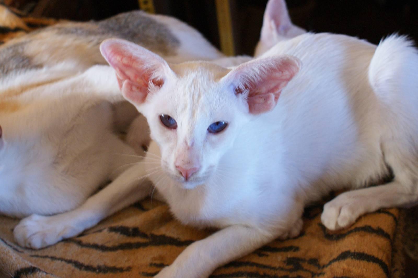 Сейшельская кошка. описание породы