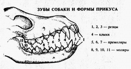 Сколько зубов у собаки - у взрослой, когда меняются молочные зубы | petguru