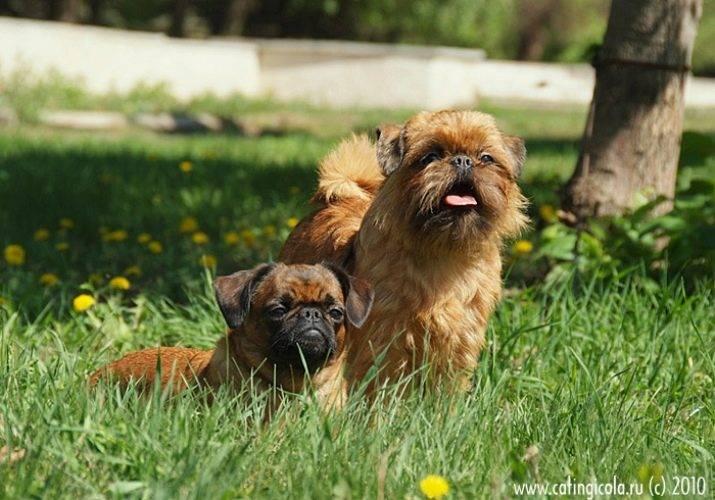 Брюссельский гриффон: фото, описание, характер и содержание декоративной породы собак
