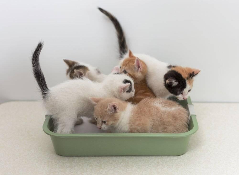 Сколько раз в сутки котята ходят в туалет: как понять позывы котёнка, приучая к лотку. сколько раз в день в норме котенок ходит в туалет?