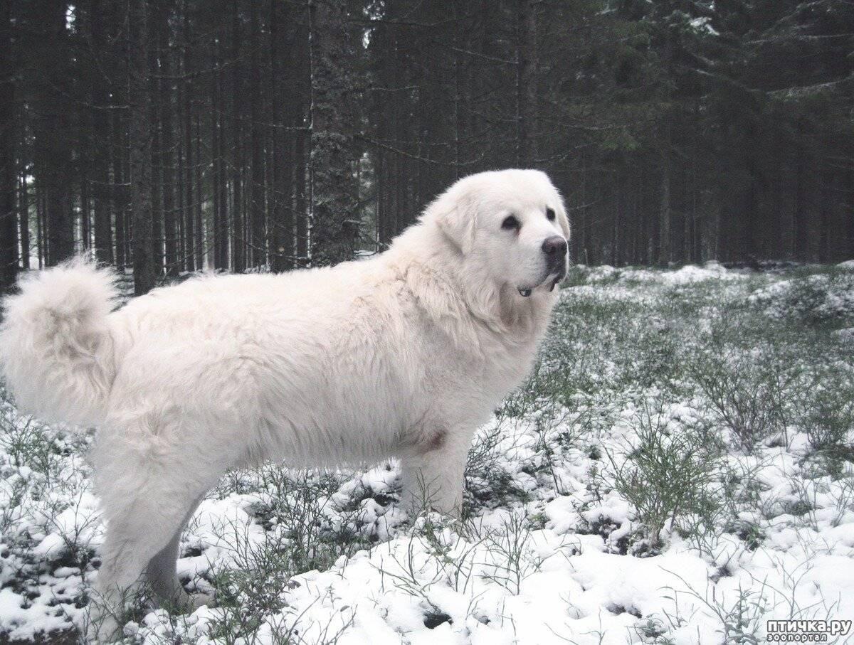Польская подгалянская овчарка: описание породы собак и фото, особенности содержания