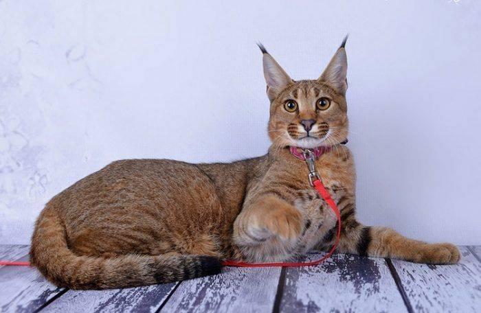 Описание пород кошек с кисточками на ушах, особенности их характера и ухода